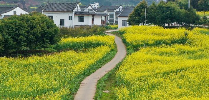 """春天在這里(li)鋪(pu)下了一條油菜花""""地毯"""""""