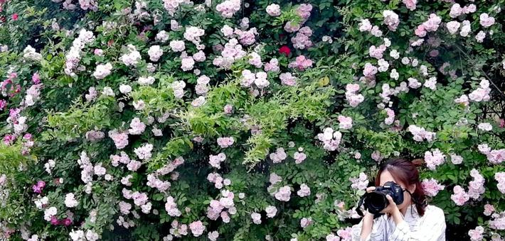 成都有那么一片地方 蔷薇花开遍地香