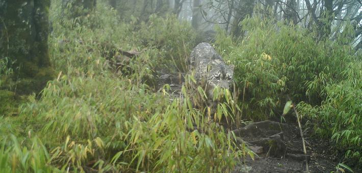 蜂桶寨保护区拍到雪豹清晰照片曝光