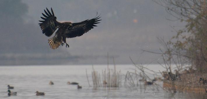 白尾海雕让青龙湖湿地公园成拍鸟热门地