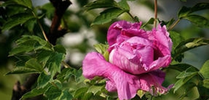泉城公园牡丹盛开 国色天香