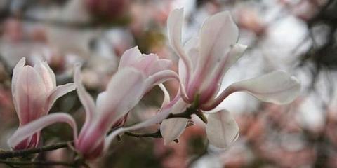 春雨过后的玉兰花 格外美丽动人