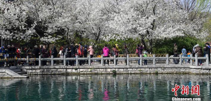 济南五龙潭樱花节开幕