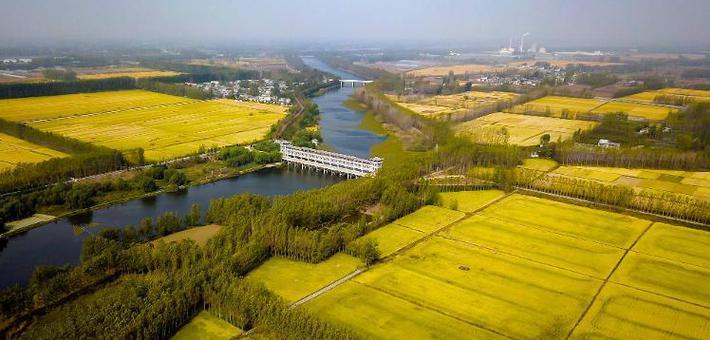 江北水乡台儿庄 万亩水稻正飘香
