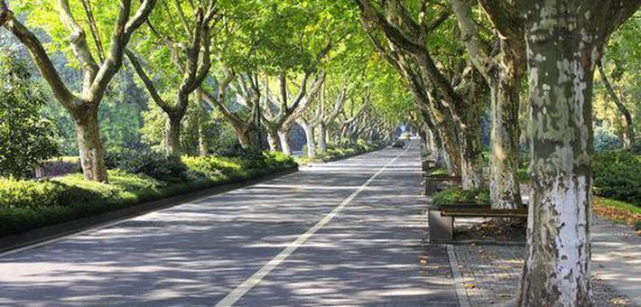 上海有望诞生首条日本晚樱林荫道