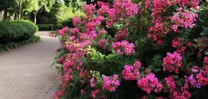 世纪公园紫薇花开炫丽多姿