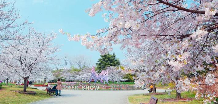 上海植物园打造全新赏樱地
