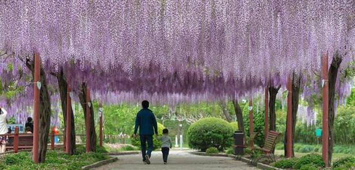 东平国家森林公园新建千米紫藤长廊
