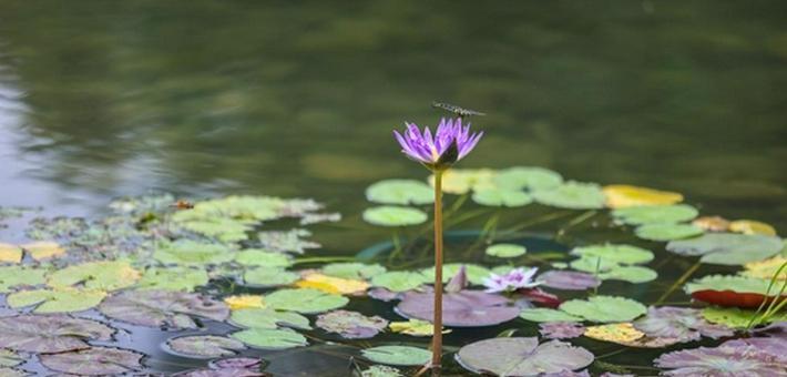 上海:静谧的睡莲世界如梦如幻
