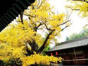 雌雄连理银杏 600年依旧枝繁叶茂
