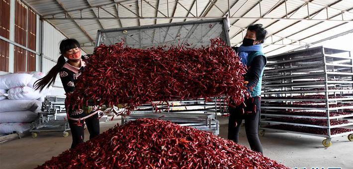 山西襄汾:红了辣椒 富了腰包