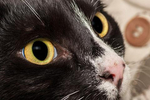 眼睛严重充血图片_猫眼睛充血会消吗,猫咪眼睛充血怎么处理