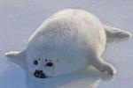 做了一些海豹的表情包图片