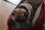 天天要和狗做爱_狗狗窝在沙发上一脸身体被掏空的表情,网友瞬间爆了
