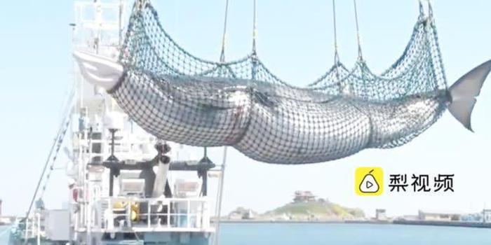 日港口1天捕7头鲸鱼 专家称为做调查计划再捕80头