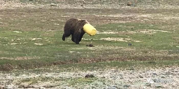 棕熊觅食头被套桶住无法拔出 青海公安4小时解救