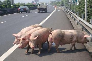 高速行驶时,前方出现小动物该急刹还是该变道?交警:不要命了?