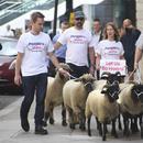 """反對脫歐 英國一民間組織""""趕羊上街""""以示抗議"""