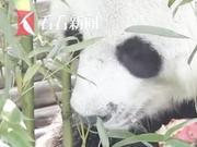 19岁旅泰大熊猫创创疑似噎死 死因尚有待调查