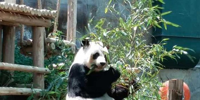 泰国民众黑衣告别创创 熊猫伴侣林惠独自进食竹叶