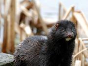 美国犹他州威斯康星州皮草养殖场 一万只水貂感染新冠病毒后死亡