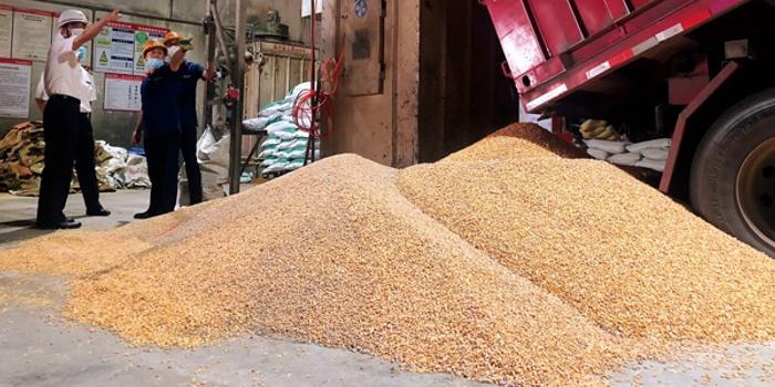 606吨进口玉米抵达厦门 以帮助加快粮食加工企业的生产