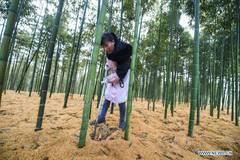 People prepare bamboo shoots for trading in Taihuyuan Township, Hangzhou