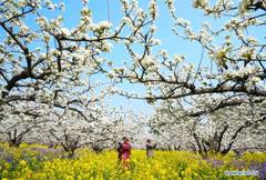 Farmers pollinate pear flowers at pear orchard in north China's Hebei
