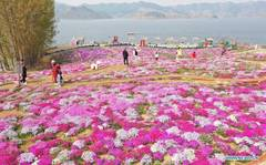 Moss pink flowers in full bloom in Heibei