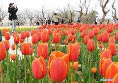 Blooming tulips seen in northwest China's Gansu