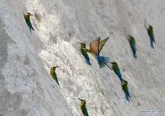 Blue-tailed bee-eaters seen in Xiamen, Fujian