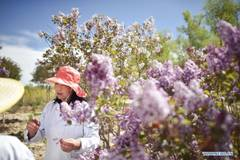 Lilacs in bloom at seedling breeding base in Xining, NW China