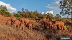 Herd of wild Asian elephants makes temporary stop in outskirts of Kunming