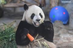 Special snacks prepared for giant pandas to mark Dragon Boat Festival in Hainan