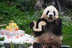 Twin panda brothers celebrate fifth birthday in Macao