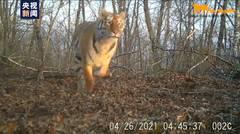 Wild Siberian tiger chase deers