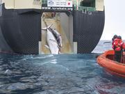 """日本正式""""退群""""!31年来首次恢复商业捕鲸"""