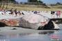 一头长须鲸尸体被冲上法国海滩