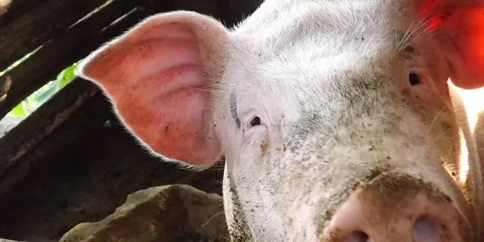 猪肉涨了 养猪大户们赚到钱了吗?