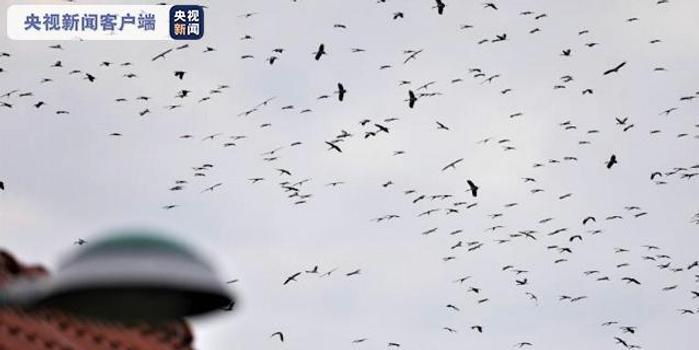 數千只鉗嘴鸛聚集覓食 專家:是氣候變化危險信號