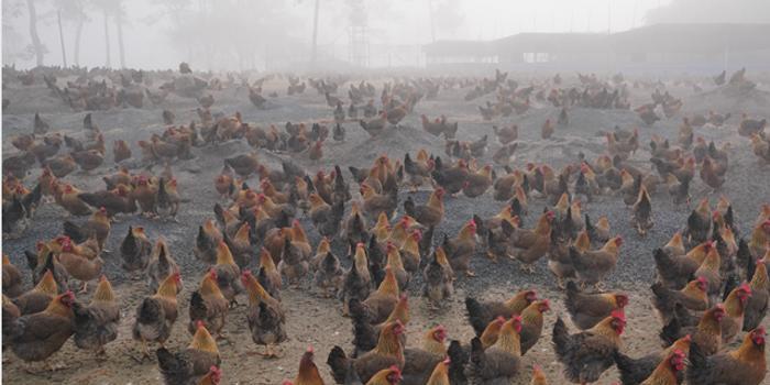 湖北中小禽蛋养殖户:饲料涨价并限售 鸡蛋卖不出去