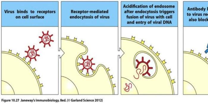 为什么新型冠状病毒疫苗肯定会研制成功?