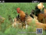 千亿沙漠蝗来势汹汹 一天吃70只蝗虫的鸡斗得过吗?