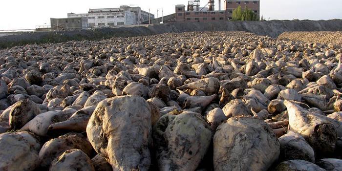 俄罗斯甜菜糖产量将创历史新高