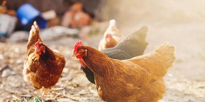 """家禽养殖面临""""双疫情""""冲击 龙头回应:影响没那么大"""