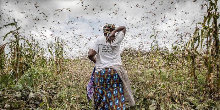 非洲开发银行批准150万美元紧急赠款 以遏制东非蝗灾