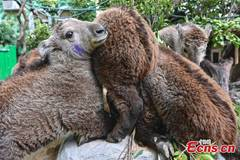 Newly born golden takins undergo health examination in Guangdong