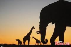 Fascinating animal silhouettes under sunset in Botswana