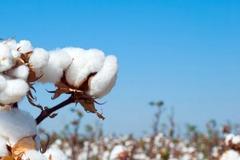 無理抵制新疆棉花 H&M們將失去什么