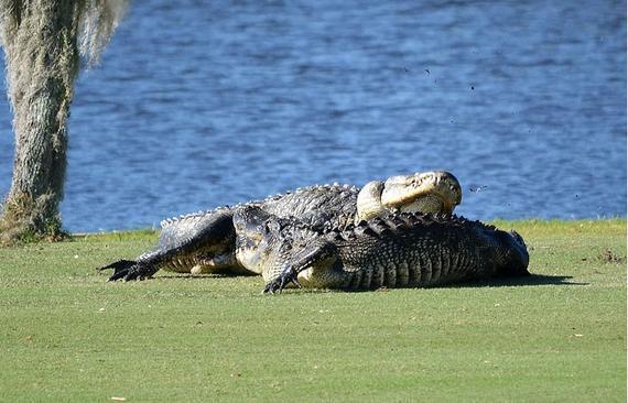 两只巨鳄演出了一场史上最牛厮杀